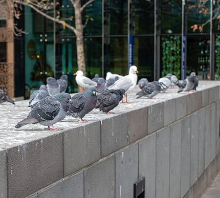 bird-control-pigeons-gulls-wall-owl-pest-control-dublin