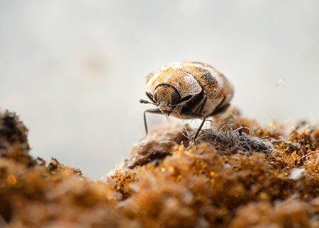 carpet-beetle-pest-control-service-owl-pest-control-dublin