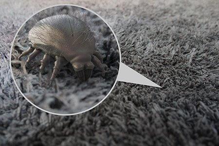 Dust mite in carpet