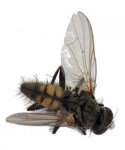 Lesser Housefly - Owl pest control Dublin
