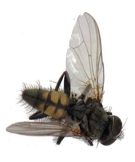 Lesser Housefly