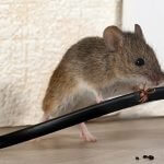 Mouse Gnawing Cable - Owl pest control Dublin