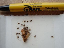 German Cockroach Nymphs - Owl pest control Dublin