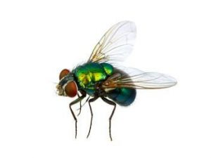 Flies & Insect Products