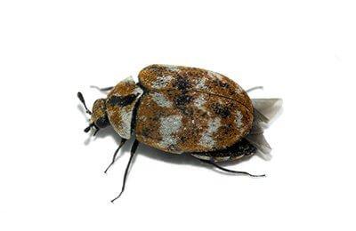 pest-control-for-carpet-beetles-Owl pest control Dublin