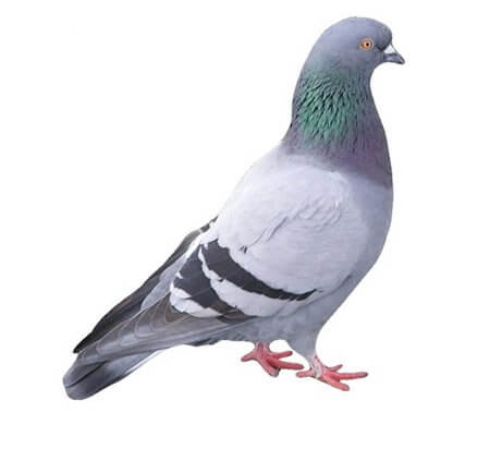 pest-control-guide-feral-pigeon-isolated-Owl Pest Control Ireland