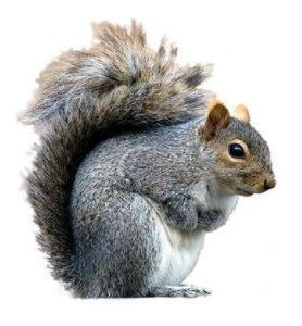 Grey Squirrel - Owl pest control Dublin