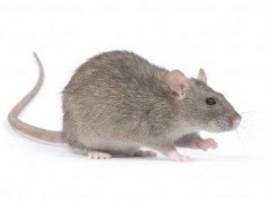 Mice & Rat Products