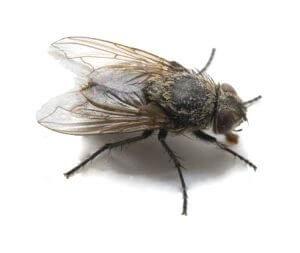 Cluster Fly - Owl pest control Dublin