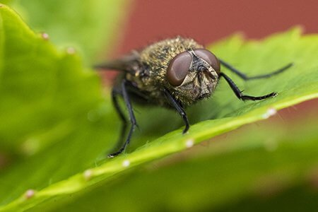 Close up Cluster fly