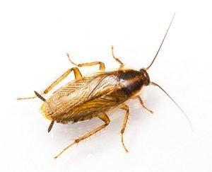 German cockroach - Owl pest control Dublin