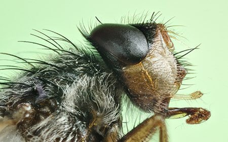 Lesser Housefly close up