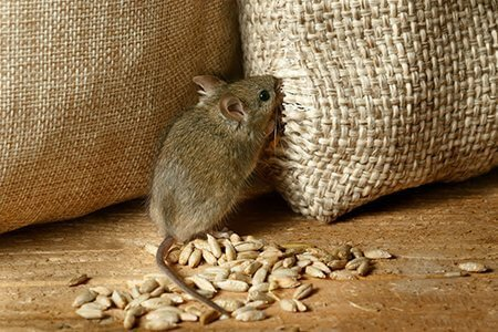 pest-guide-mice-3-eating grain-sack-Owl Pest Control Ireland