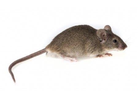 pest-guide-mouse-4-Owl Pest Control Ireland