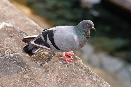 Pigeon 3 bird-control-products-Owl Pest Control Ireland