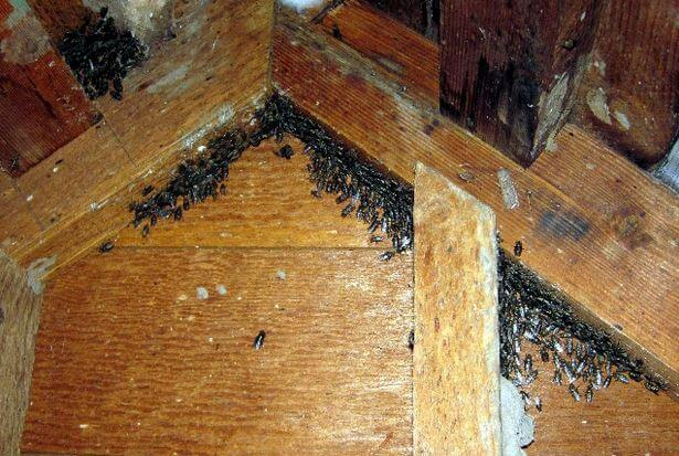Cluster Flies in attic - Owl pest control Dublin
