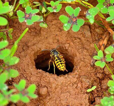 Wasp nest in soil
