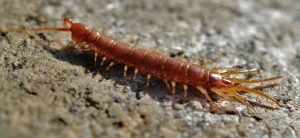 get-rid-of-centipedes-what-to-do-owl-pest-control