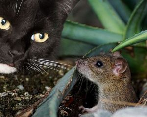 Cat chasing a mouse