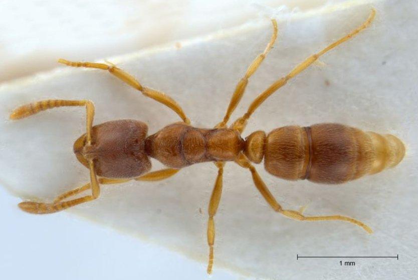 Roger's-ant-Hypoponera-punctatissima