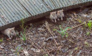 house mice under decking - Owl pest control Dublin