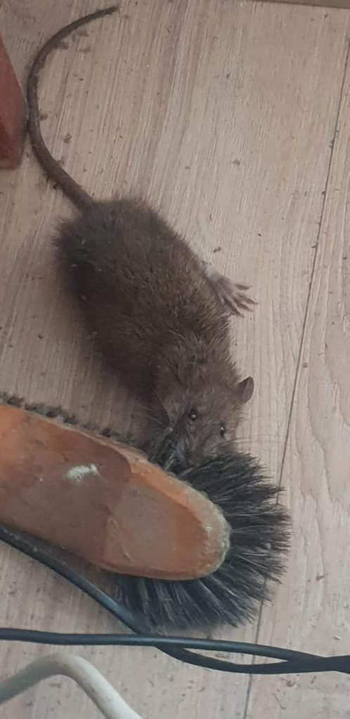 norway-sewer-rat-attack-a-broom-owl-pest-control-dublin