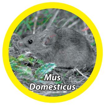 house-mouse-mus-domesticus - Owl Pest Control Dublin