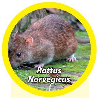 norway-rat-rattus-norvegicus - Owl Pest Control Dublin