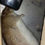 Huge rat caught in spring trap under floor - Owl pest control Dublin