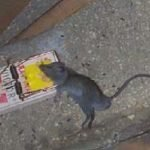 Mouse killed on a spring trap
