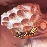 Queen wasp starting a new nest in a car engine - Owl pest control Dublin