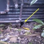 Rat and mice access entry point to building walls - Owl pest control Dublin