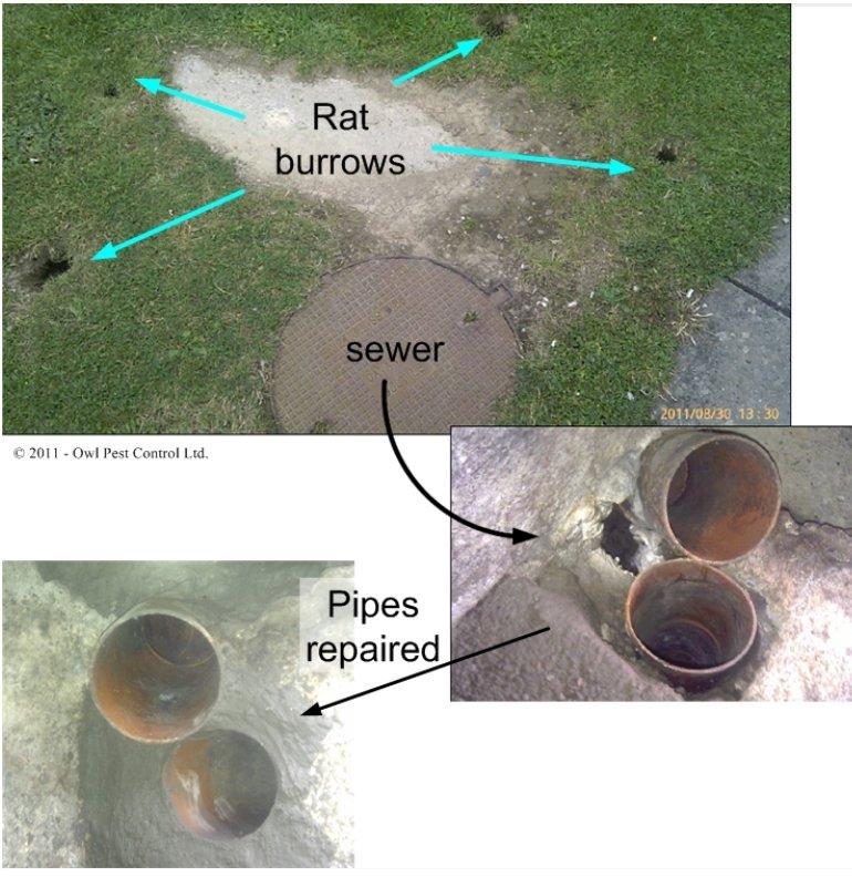 Rat damage sewer repairs - Owl pest control Dublin