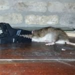 Rat killed by spring trap under tables in a pub - Owl pest control Dublin