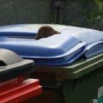 Rat on wheelie bins in Dublin - Owl pest control Dublin