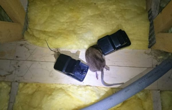 Rat traps catching both mice and rats - Owl pest control Dublin
