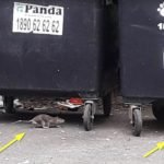 Rats running under wheelie bins in Dublin - Owl pest control Dublin