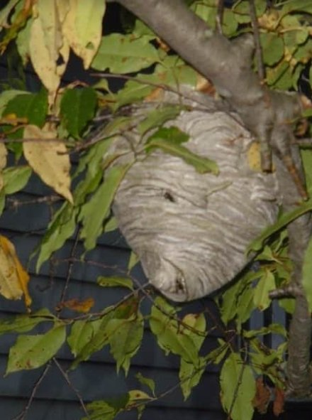 Wasp nest built in a tree