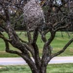 Wasp nest in a fruit tree - Owl pest control Dublin