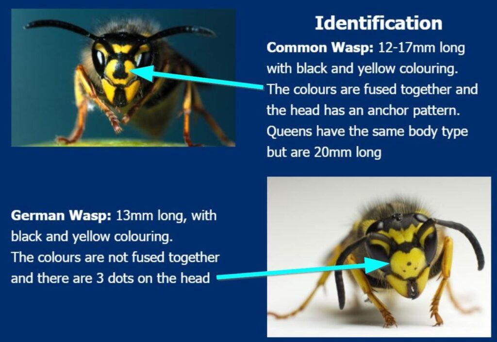 wasps-common-wasp-vs-german-wasp